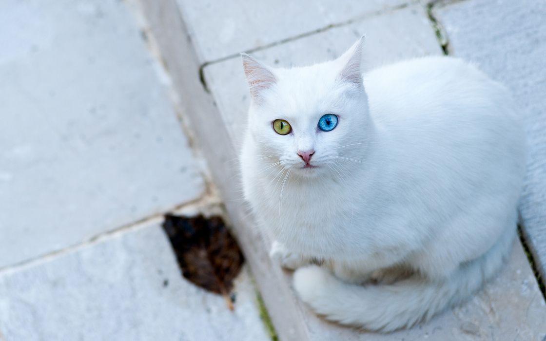 animals cats white eyes strange colors wallpaper
