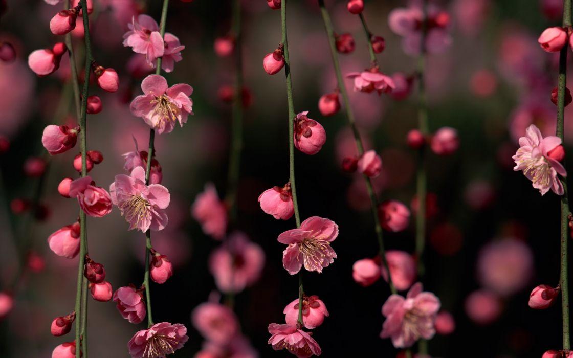 Cherry blossoms flowers hanging wallpaper