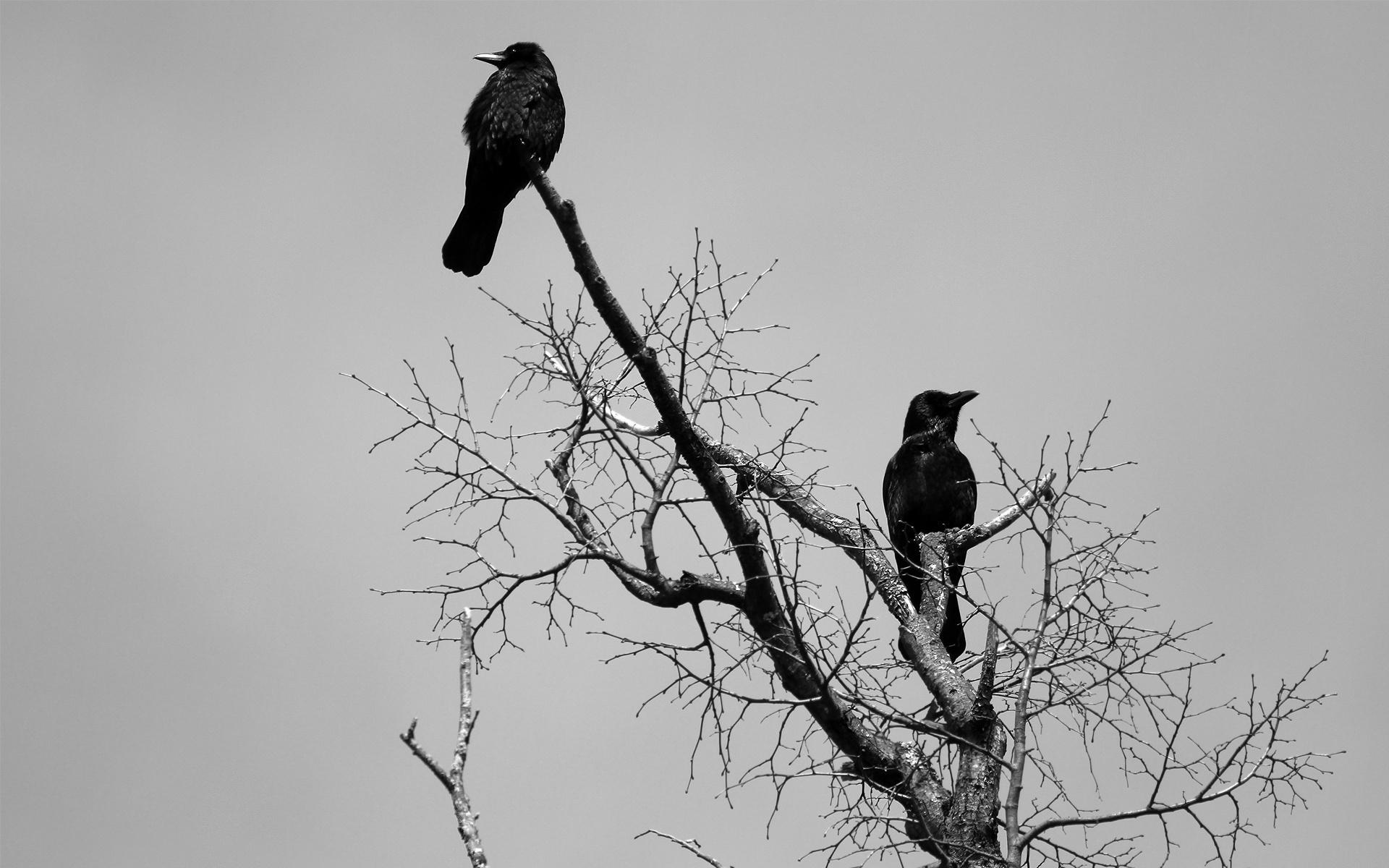 animals birds crows ravens gothic dark wallpaper