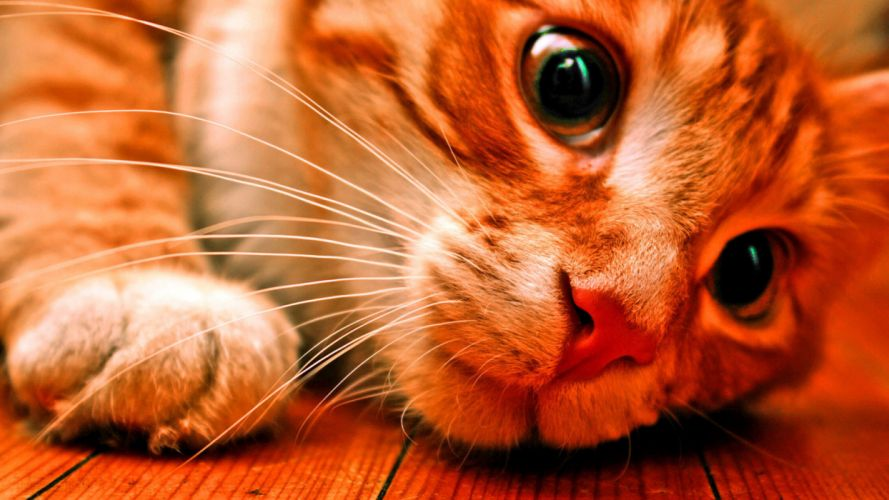 animals cats eyes face wallpaper