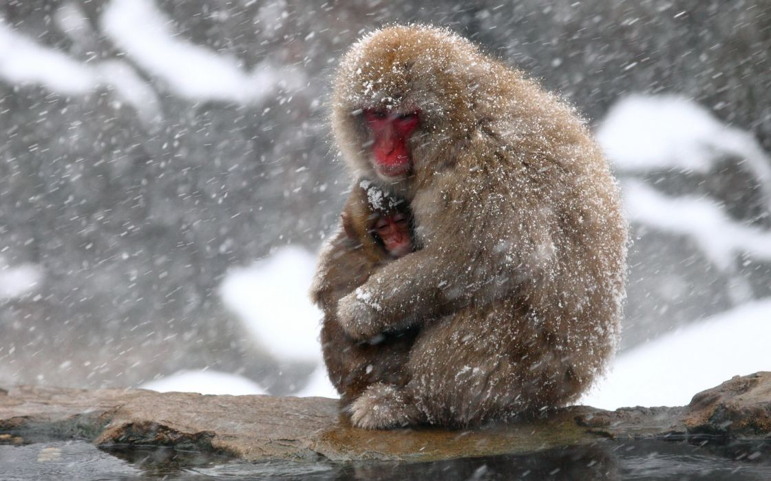animals monkey nature winter cute mother snow snowflake snowing wallpaper