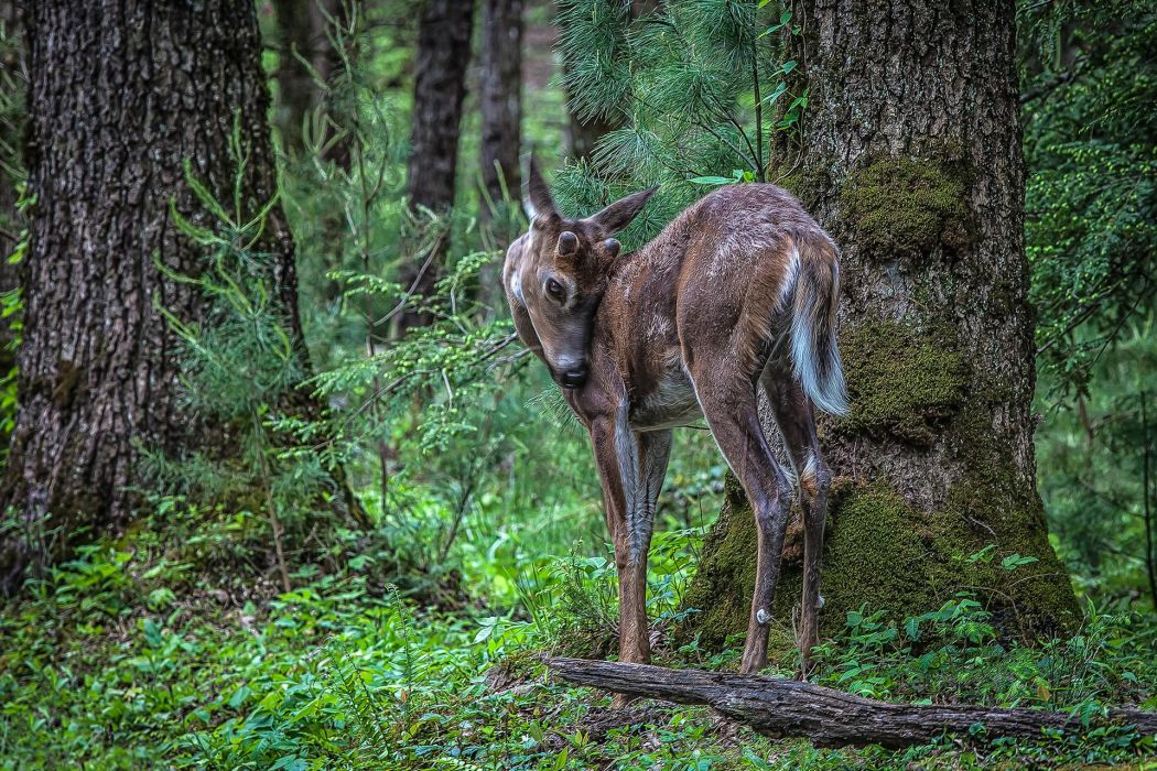 animals deer babies fawn trees forest nature wallpaper