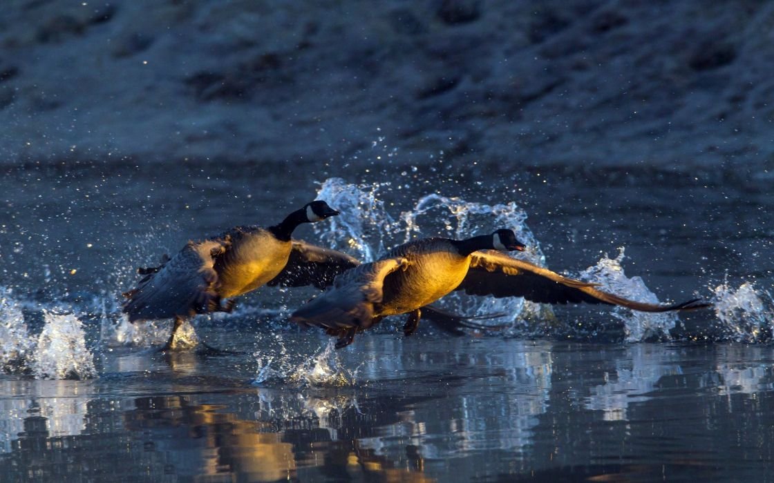animals birds geese drops geese flying wallpaper