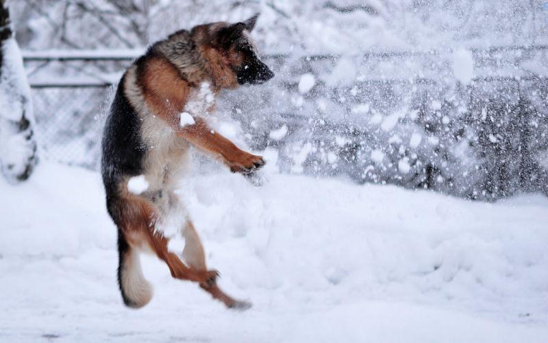 animals dogs winter snow snowflakes mood wallpaper