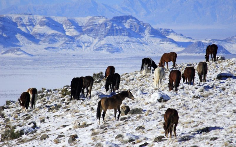 animals horses landscapes nature winter snow mountains wallpaper