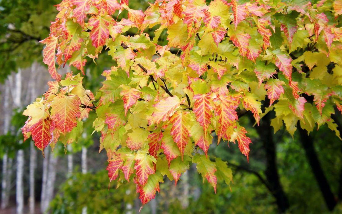 nature trees leaves colors autumn fall seasons maple wallpaper