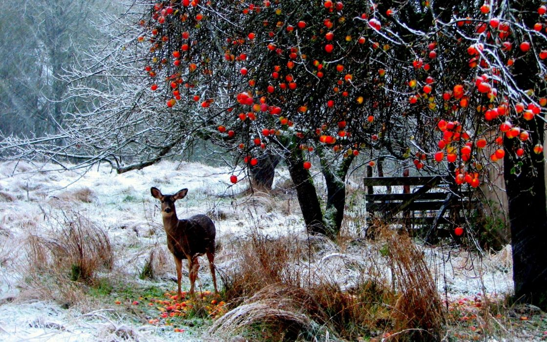 landscapes nature animals deer winter snow snowing snowflakes berries trees forest christmas seasons wallpaper