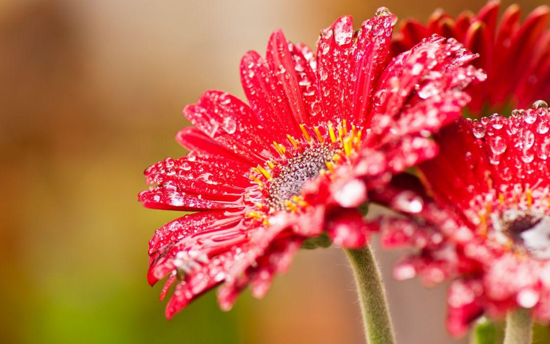 nature flowers drops red macro close close-up wallpaper