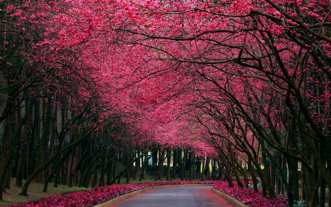 landscapes nature trees blossoms flowers roads petals forest pink wallpaper