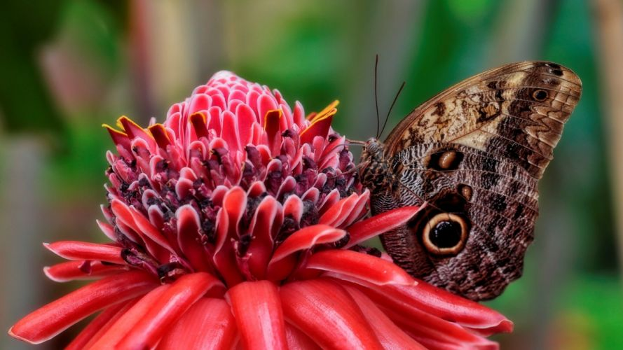 animals insects nature butterflies wings flowers red closeup-close-up wallpaper