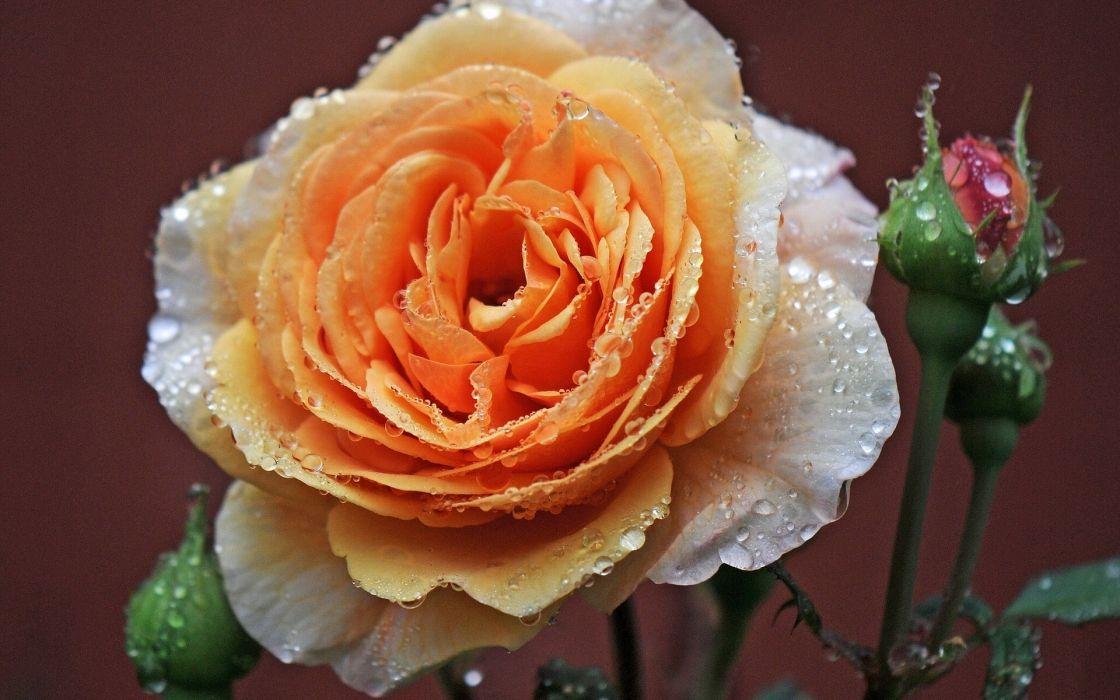 roses petals colors wallpaper