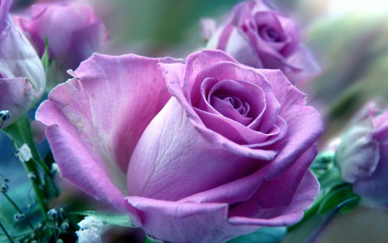 roses purple soft close macro close-up wallpaper