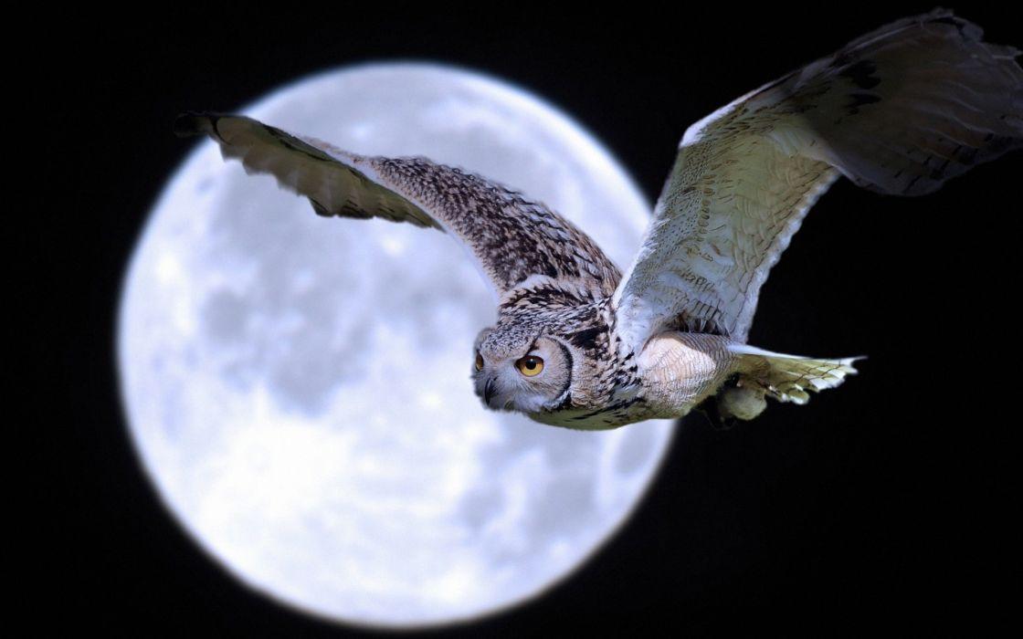 moon flightlfly flying owls skies night moonlight wallpaper