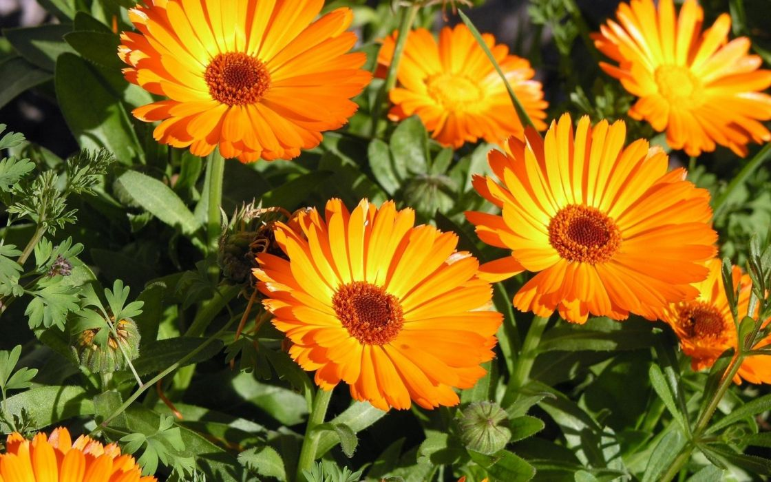 nature flowers petals orange bright plants garden wallpaper