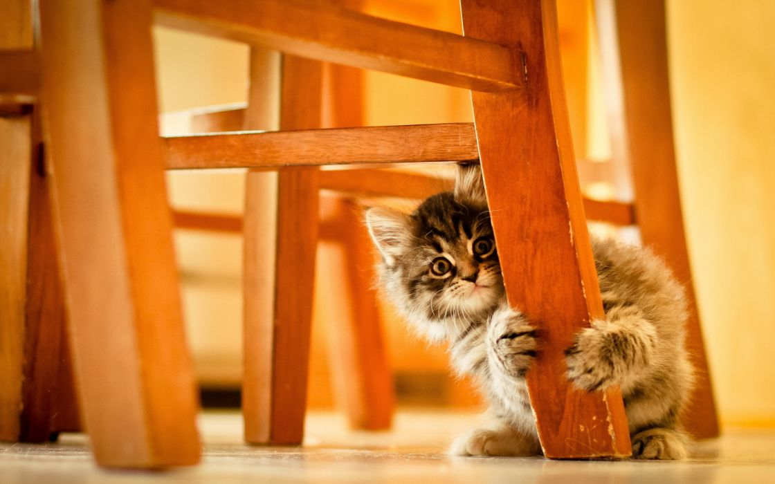 animals cats kittens babies chair paws wallpaper