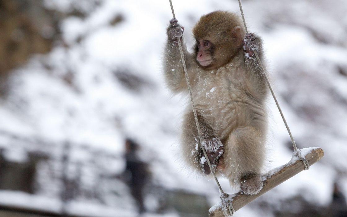 animals monkey snow winter swing fun mood wallpaper