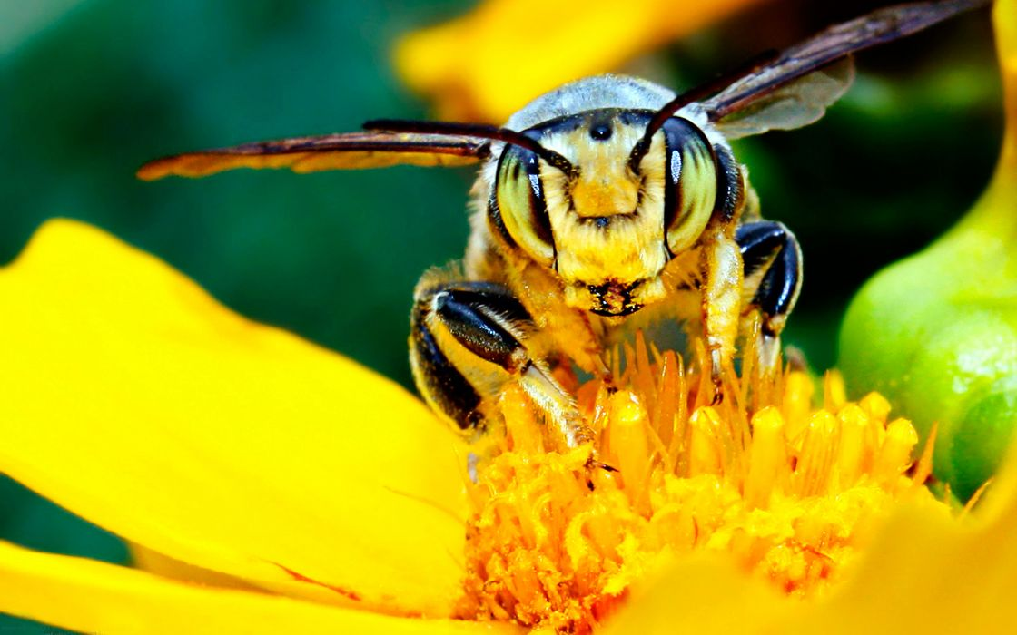 animals insects bee wasp bumble yellow flowers nature wings petals pollen wallpaper