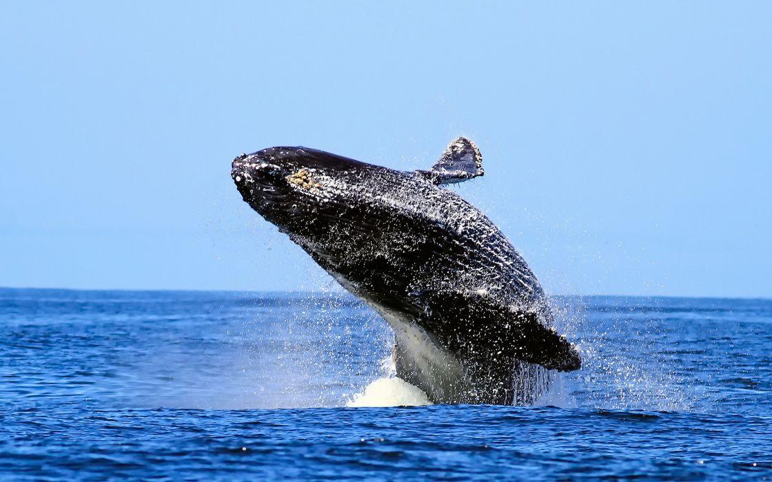 animals whales breach fly flying flight drops water ocean sky skies seascape wallpaper