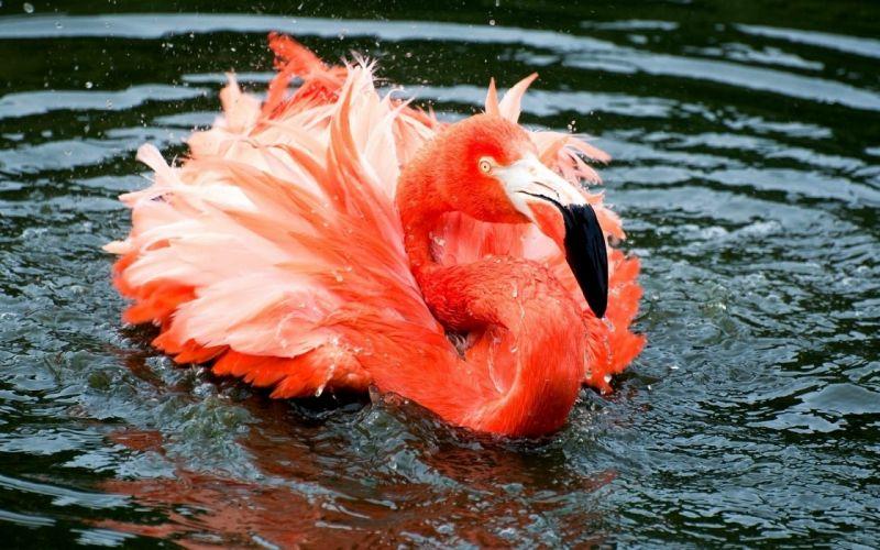 animals birds flamingo pink orange bright feathers wallpaper