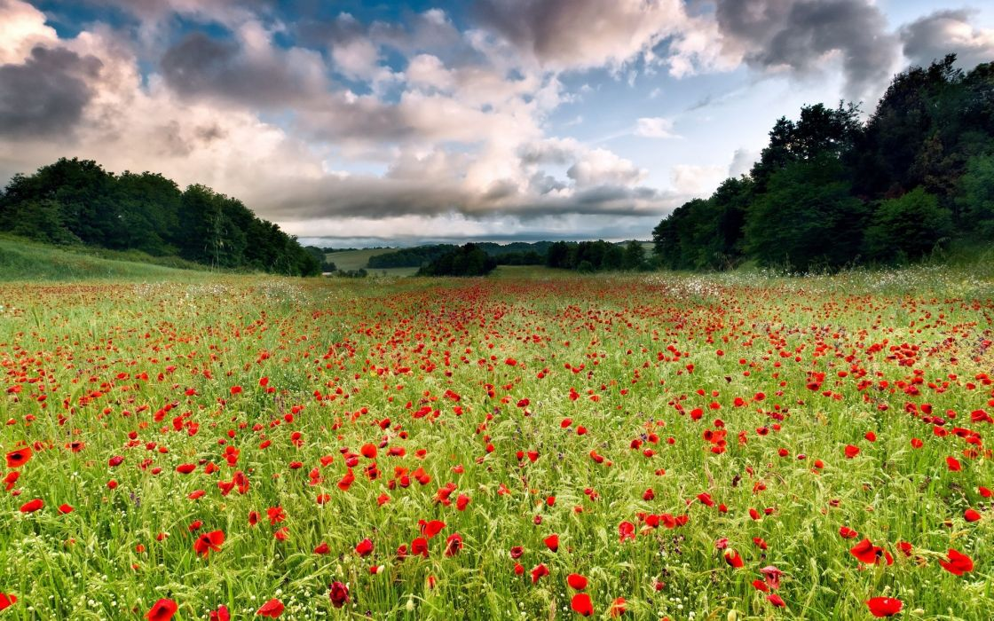 nature landscapes flowers fields trees sky skies clouds poppy poppies green contrast wallpaper