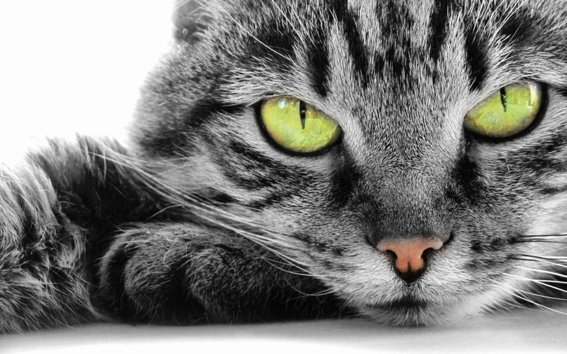 animals cats eyes whiskers face nose fur contrast wallpaper