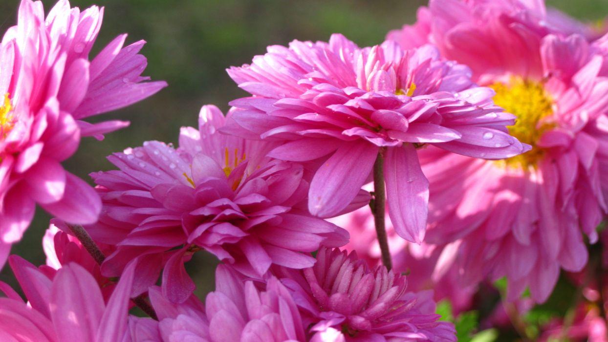 nature flowers petals pink macro close up photography wallpaper