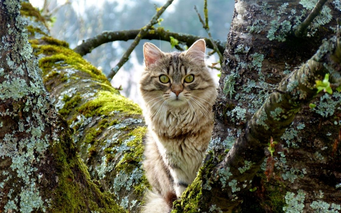 animals cats trees eyes face whiskers nature fur ears nose moss photgraphy wallpaper
