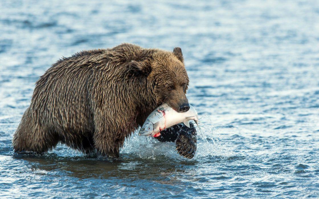 animals bear fishes water river predator nature wildlife fishing hunt wallpaper