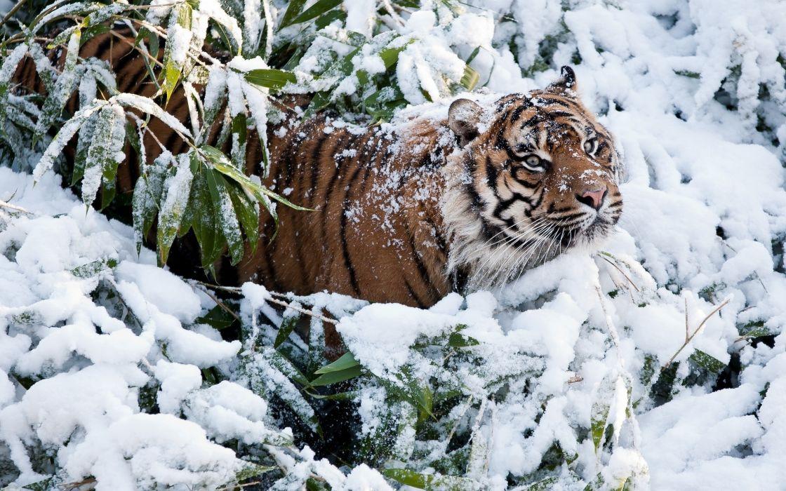 animals cats tiger winter snow predator wildlife wallpaper