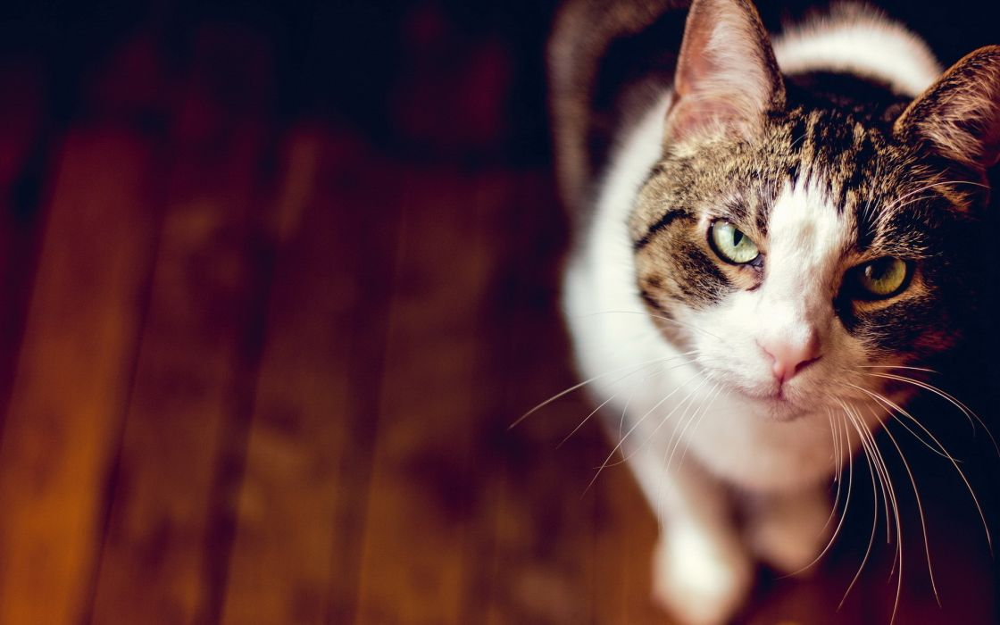 animals cats fur whisker eyes wood ears nose stare pov wallpaper