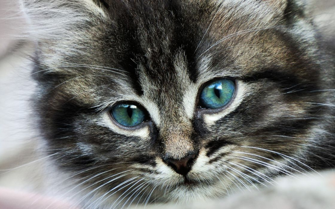 animals cats kittens face eyes whisker fur babies wallpaper