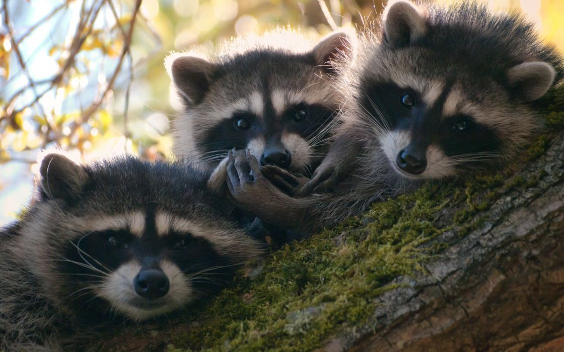 animals racoons babies fi=ur eyes face ears nose trees wildlife leaves moss wallpaper