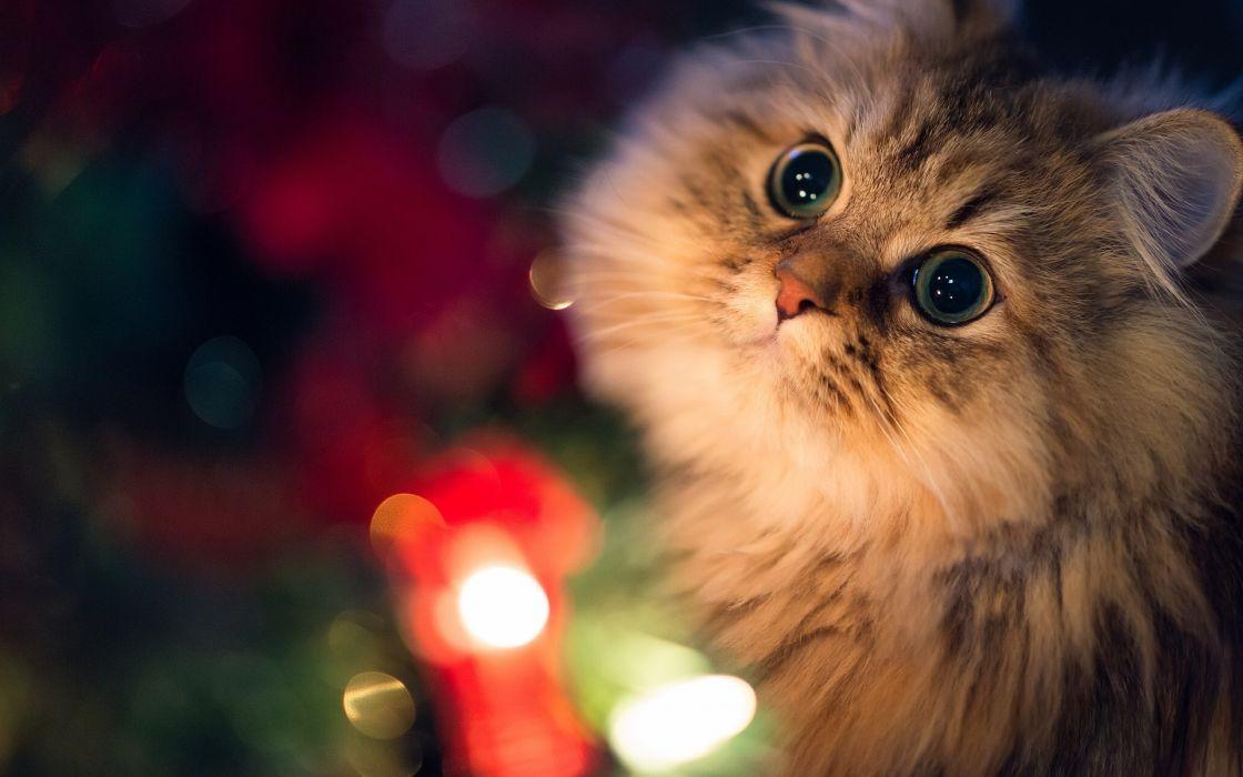 holiday christmas seasonal animals cats light fur face eyes nose ears wallpaper