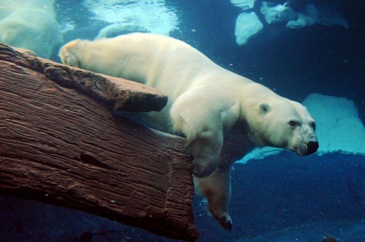 polar bears animals underwater swim fur water stare ice nature wildlife predator wallpaper