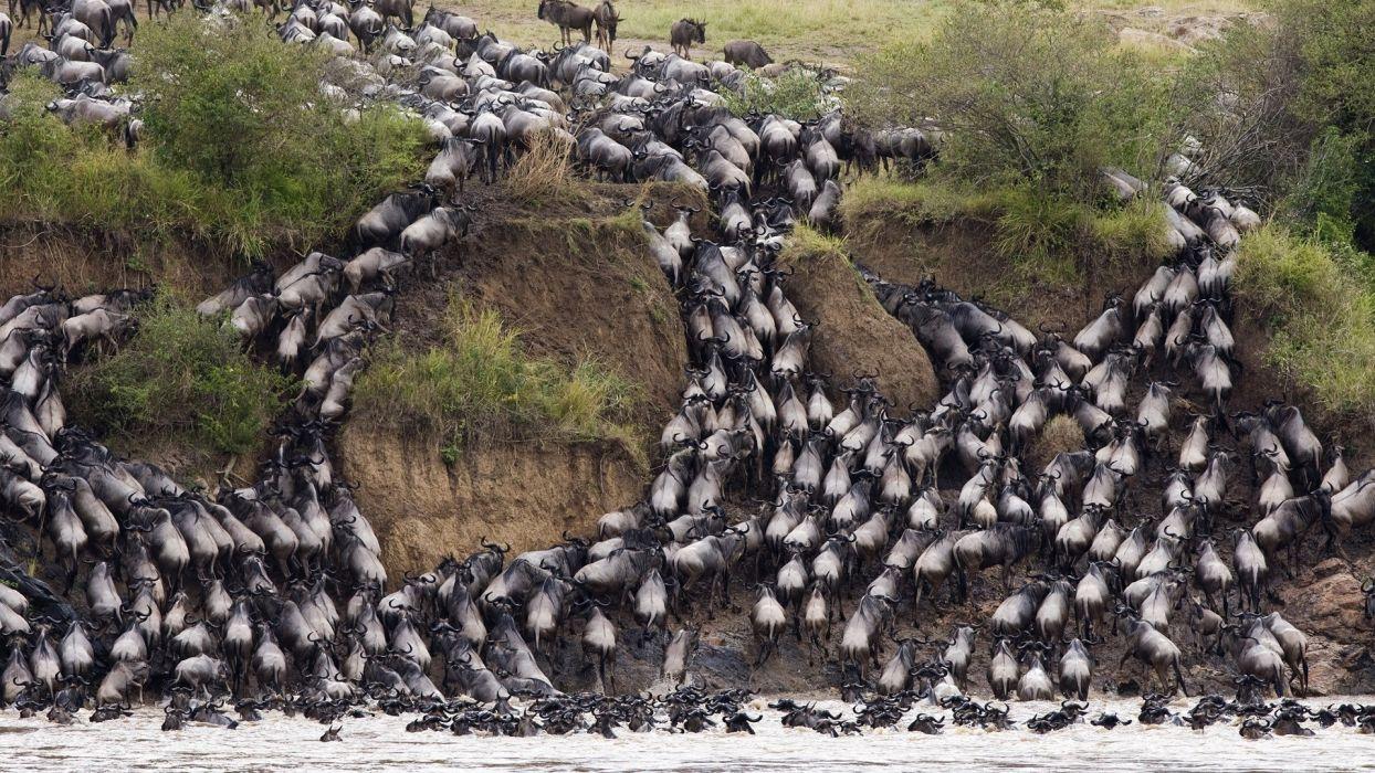 kenya wildebeest wildlife migration herd cow bull africa nature rivers water splash drops cliff hill grass landscapes wallpaper