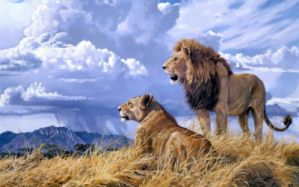 Lions Lion Lioness Couple Love Mood Wallpaper 2048x1365 719400
