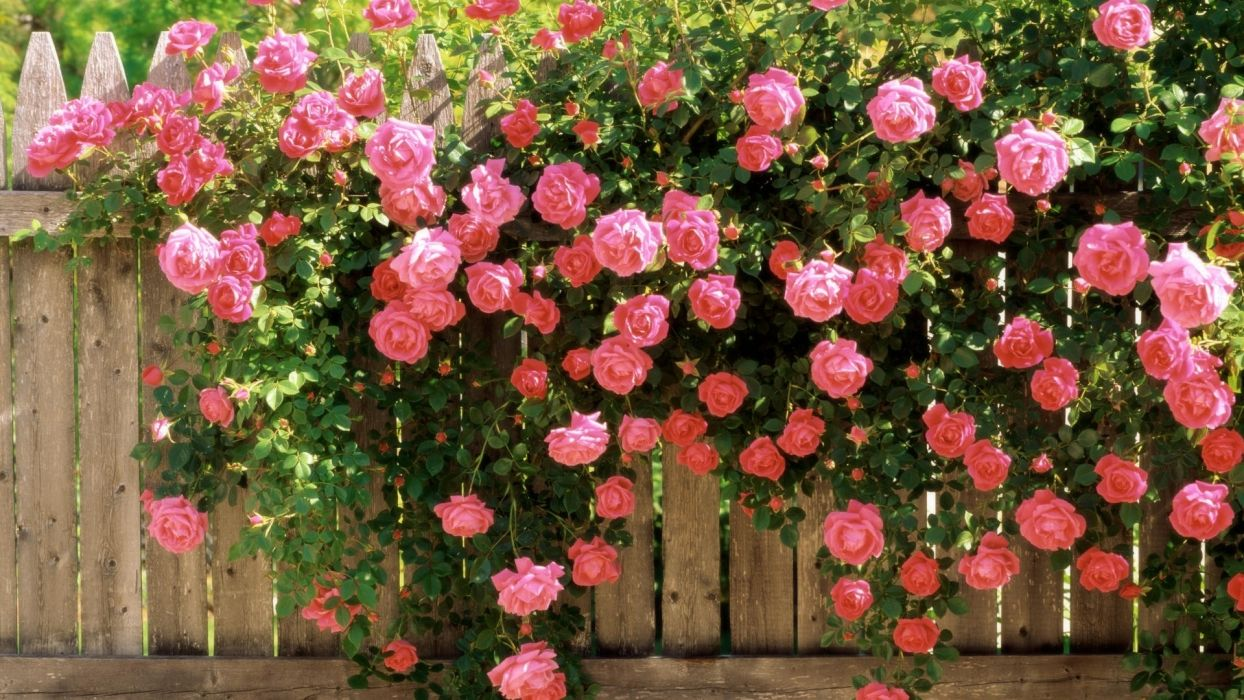 nature flowers fence pink leaves petals contrast green wallpaper