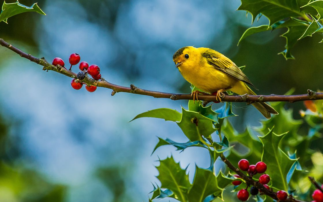 animals birds photography berry leaves nature wildlife trees wallpaper