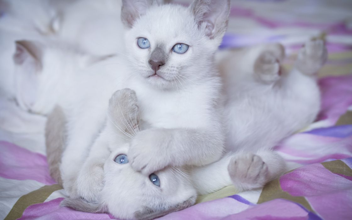 animals cats kittens babies white soft fur face play sibling paw nose mouth feet cute feline wallpaper