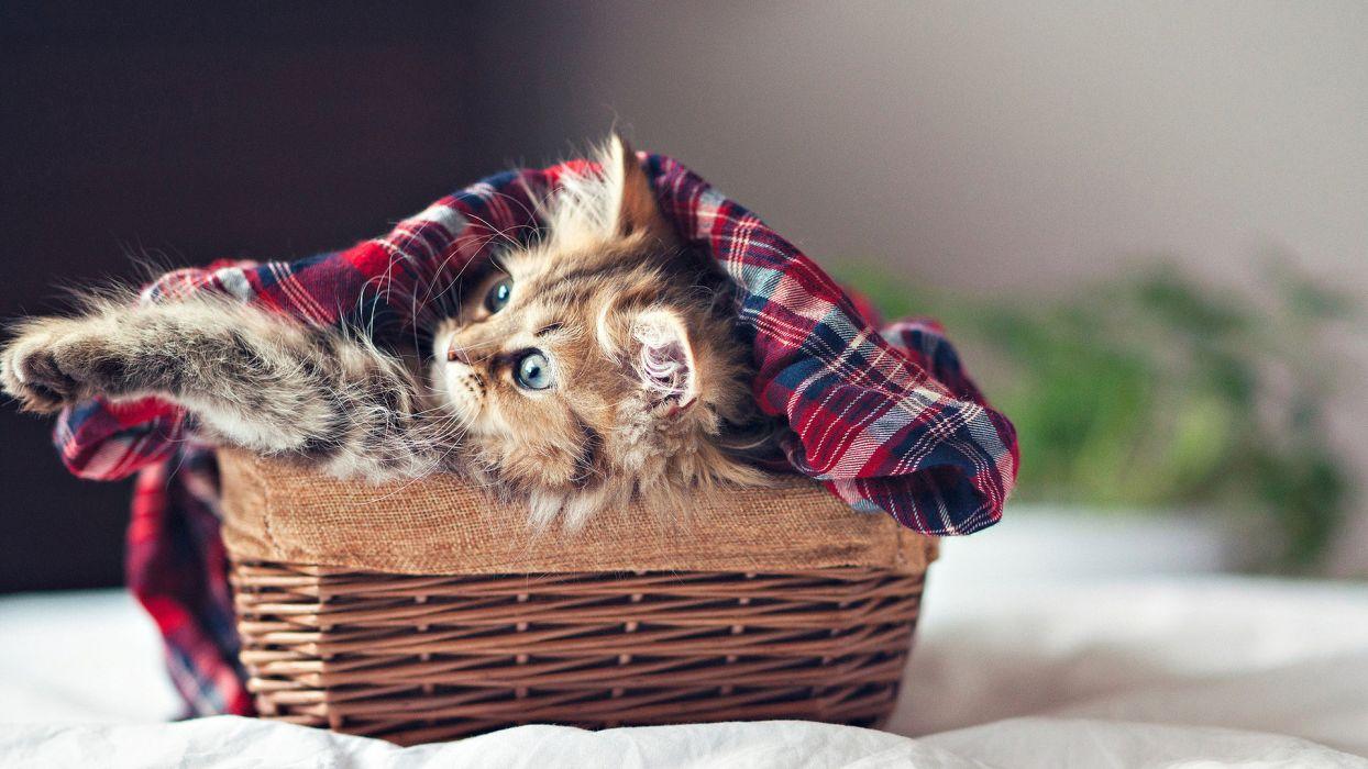 animals cats kittens feline fur basket play paw face whisker ear cute eye wicker wallpaper