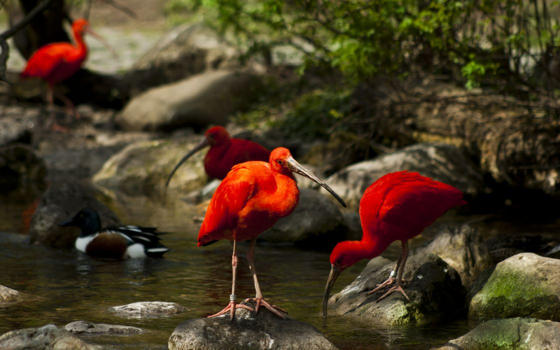 animals birds crane bill beak contrast red water stream lakes rocks nature wildlife trees legs wallpaper