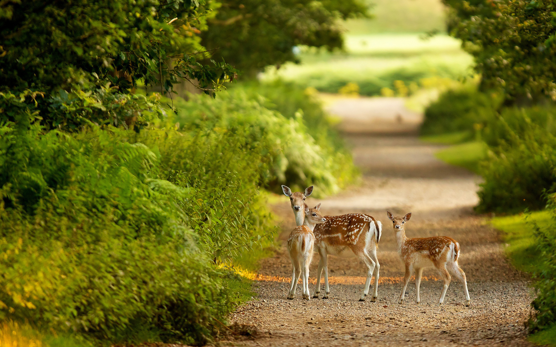 Animals Deer Babies Fawn Doe Path Roads Trees Forest