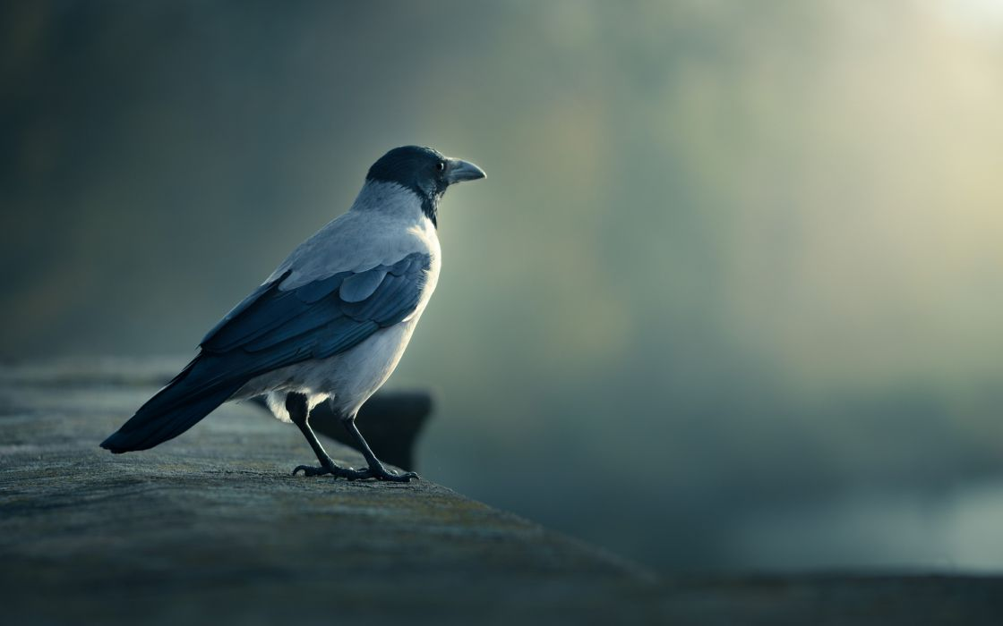 torresian-crow torresian crow animals birds feathers light haze legs beak eyes soft wallpaper