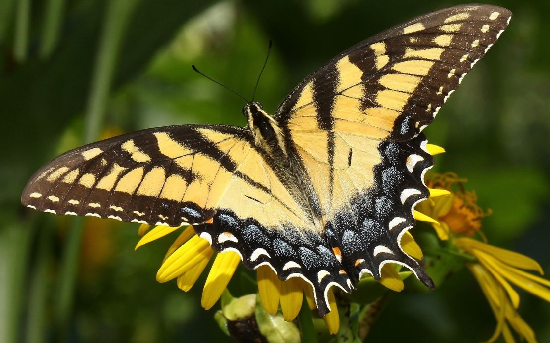 animals insects butterfly butterflies wings colors close up monarch plants flowers wildlife wallpaper