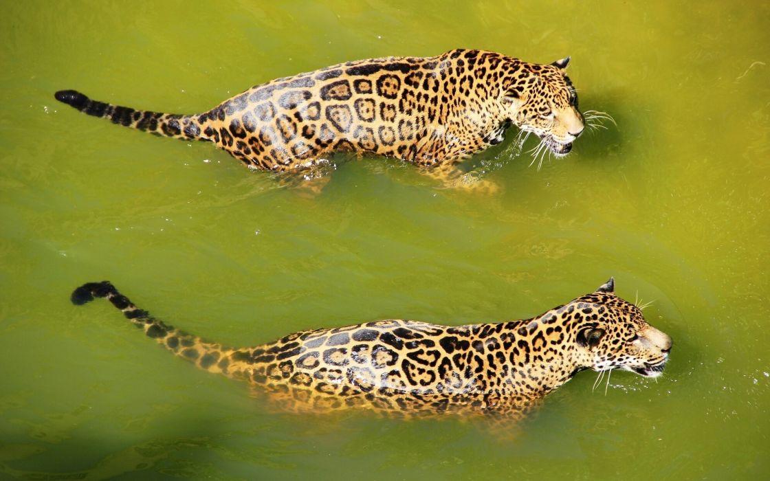 Jaguars animals cats predator fur spots water swimming wet snarl face ears whiskers coat wildlife nature wallpaper