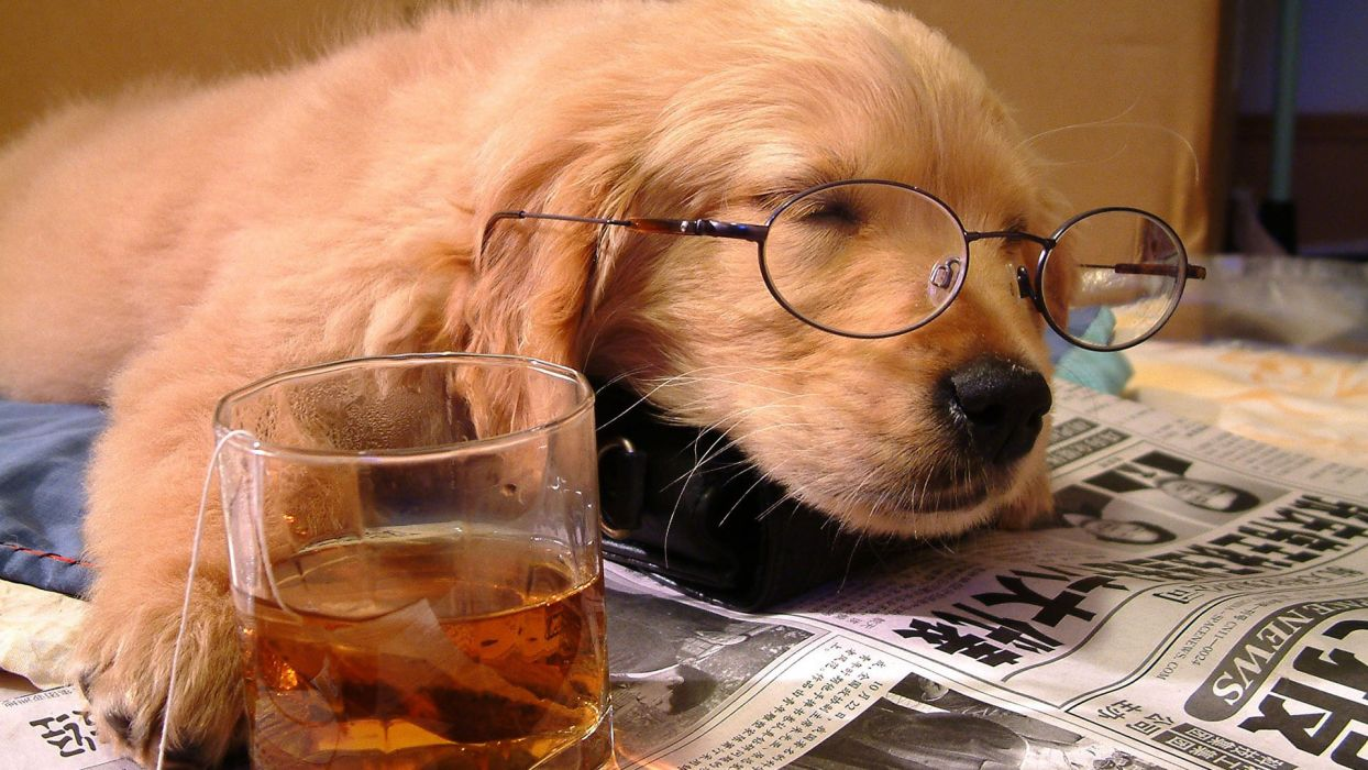 animals dogs puppy puppies fur face eyes ears nose whiskers glasses glass cup print paper drinks alcohol sleep cute situation humor funny wallpaper