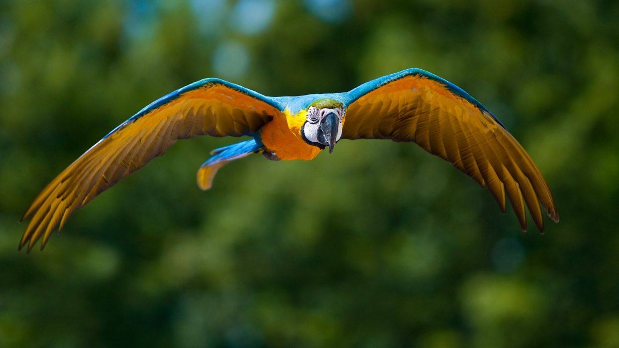 animals birds parrots nature wildlife flight fly wings feathers colors beak eyes stare look tropical jungles trees forest wallpaper