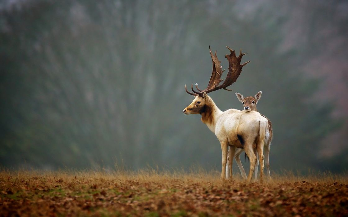 elk animals nature landscapes trees fields grass wildlife babies fawn horns antlers wallpaper