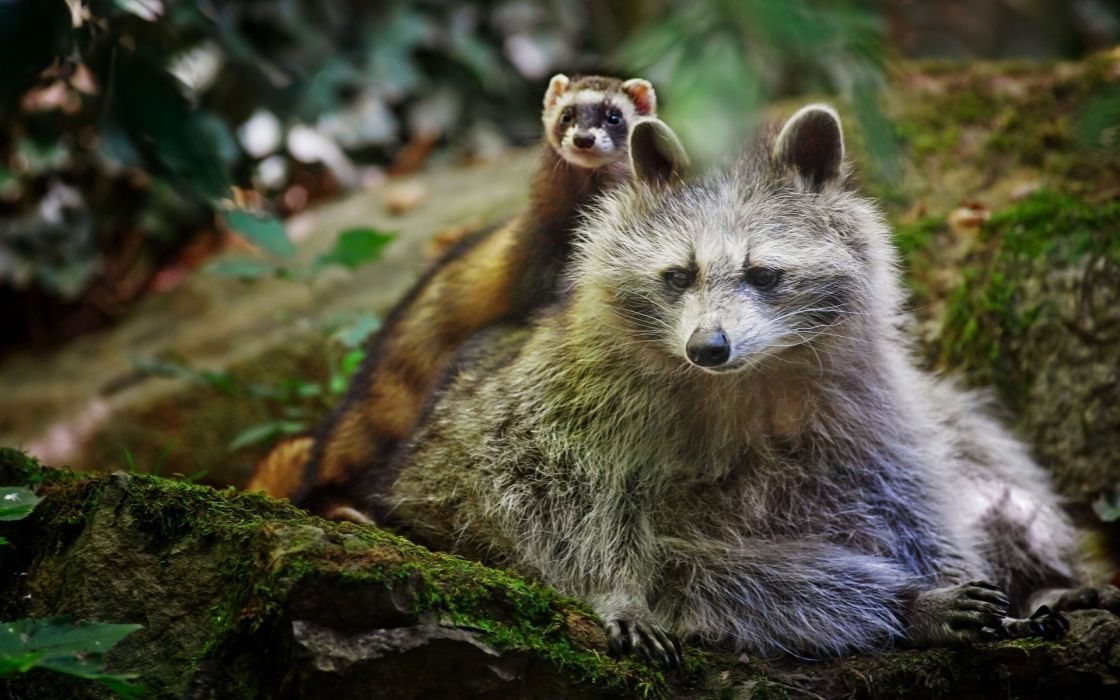 animals raccoons weasels friends wildlife fur whiskers nature forest rocks moss wallpaper