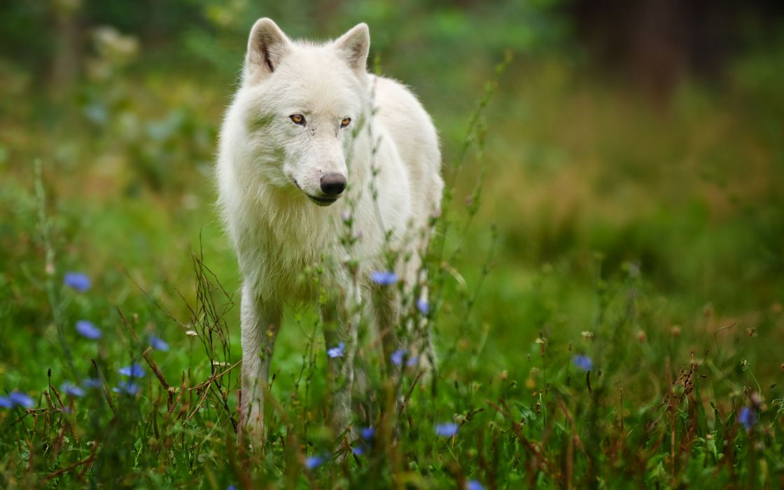 animals wolf wolves fur ears nose eyes landscapes nature grass fields flowers wildlife predator wallpaper